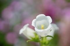 /Campanula medium (nobuflickr) Tags: flower nature japan kyoto   canterburybells thekyotobotanicalgarden campanulamedium   awesomeblossoms   20160521dsc09924