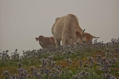 Covadonga - Ganado (damargo1983) Tags: light naturaleza verde luz nature fog asturias pasto ganado animales niebla vacas picosdeeuropa covadonga vaques cangasdeons lagosdecovadonga parquenatural ganadera pastando