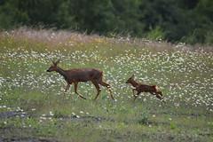 Roe Deer & Fawn (Rodders60022) Tags: wildlife fawn mammals roedeer deers fairburnings rspbreserves