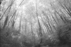 Gorgeous ash grove efke 820 (Escipi) Tags: hoyar72 infrared ir minoltax700 film efke820 selfdeveloped ilfosol3 ash grove forest bw