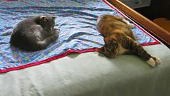 Millie and Gracie 20 June 2016 9678Ri 9x16 (edgarandron - Busy!) Tags: cats cute cat gracie feline tabby kitty kitties tabbies millie graytabby patchedtabby