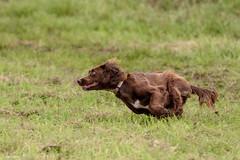 DSC_4197 (TDG-77) Tags: dog pet dogs animal nikon running d750 nikkor f28 flyball chasing 70200mm unleashed vrii