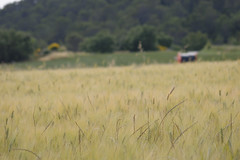 Champ de bl (nrocher) Tags: red food france green nature beautiful yellow jaune rouge foods nikon farm wheat farming sigma vert nourriture ferme gard wheats bl nouriture crale crales