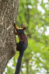 Malabar Giant Squirrel (Deepu Cyriac) Tags: travel nature animals squirrel wildlife kerala palakkad westernghats silentvalley giantsquirrel malabargiantsquirrel silentvalleynationalpark indianforest mannarkkad silentvalleynp sairandhri nilgiriboisphere sairandhrivanam