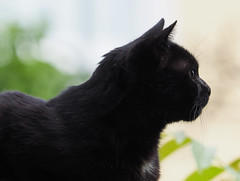 Juni Baden bei Wien 2016 (arjuna_zbycho) Tags: flowers pet cats pets cute animal animals cat blackcat kitten feline chat kitty blumen kittens tuxedo gato tuxedocat gatto katzen haustier koty kater tier insekten kwiaty badenbeiwien gattini hauskatze kocio unseregareten