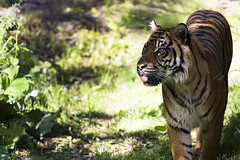 Sumatran Tiger 44 (cypher40k Photography) Tags: toronto color colour zoo nikon tiger bigcat sumatrantiger torontozoo