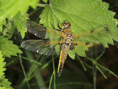 Four-spotted Chaser - Libellula quadrimaculata (Prank F) Tags: macro nature closeup insect dragonfly wildlife chaser wildlifetrust fourspotted libellulaquadrimaculata northantsuk ditchfordlakesmeadows