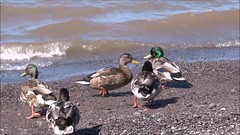 Colverts - Mallards (Jacques Trempe 2,360K hits - Merci-Thanks) Tags: canada bird river vent duck quebec path stlawrence stlaurent sentier oiseau greve canard maree fleuve stefoy