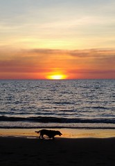 (mblaeck) Tags: takenwithphone takenwithmobile samsunggalaxys5 gs5 galaxys5 sunset mindilbeach darwin sundown dusk beach orange dog dogonbeach dachshund longhairedduchshund mobilephonography phonography water coast sky serene sand ocean sea seaside shore outdoor