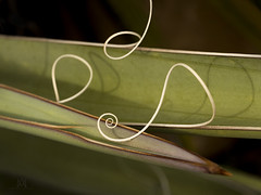 curlycues (marianna_a.) Tags: usa macro thread colorado bokeh spike agave curl curve hbw mariannaarmata p2510310