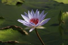 Canon212252 (godrudy6661) Tags: flower neworleans waterlillies noma citypark neworleansmuseumofart
