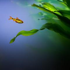 Fish tank (- David Olsson -) Tags: blue fish seaweed green water swimming square 50mm prime gold aquarium golden nikon sweden karlstad fishtank april handheld fx 50 squarecrop d800 akvarium vrmland dirtyglass 2013 flickroid mariebergsskogen davidolsson