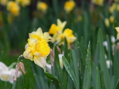 Daffodils on a Rainy Morning (Ann Arbor, Michigan) (cseeman) Tags: flowers water rain campus spring university michigan annarbor rainy daffodils universityofmichigan springtime rossschoolofbusiness