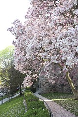 Magnolias, Petals along the Path (marylea) Tags: pink flowers catholic michigan blossoms may annarbor magnolia catholicchurch blooms 2013 stthomasaa stthomastheapostlecatholicchurch