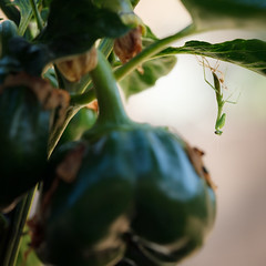 Baby Mantis III ('SeraphimC) Tags: baby plant mantis pepper nymph moulting mantid preying