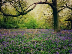 Bluebell Recce [Explored] (Vemsteroo) Tags: flowers wild england nature beautiful bluebells fairytale forest woodland carpet spring ancient woods fresh bloom iconic epic tranquil warwickshire enchanted iphone coppice recce ryton afterlight springwatch beautyinnature woodcam rytonpoolscountrypark flickrforiphone iphoneography snapseed iohone5