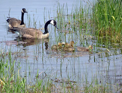 Goslings (one.juniper) Tags: park ontario canada beach nature water sunshine weekend wildlife may goslings canadiangeese naturepreserve lakehuron provincialpark daytrip wetland portelgin saugeenshores victoriaday longweekend macgregorpoint brucecounty staycation