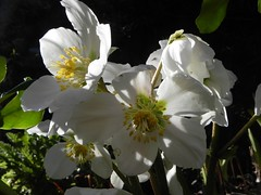 A rare sunny day brings out the best in our Helebores (milnefaefife) Tags: flowers winter plants sunlight garden scotland petals fife helleborusniger newportontay helebores