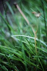 Afternoon Dew (crlphotog) Tags: water grass canon garden eos rebel 50mm droplets bokeh f14 meadow dew t3i