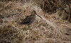 Hrossagaukur / Common Snipe (Gallinago gallinago) (Sigurberg) Tags: vor commonsnipe bústaður gallinagogallinago hrossagaukur