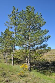 Pinus nigra  subsp nigra J.F.Arnold / pino laricio.