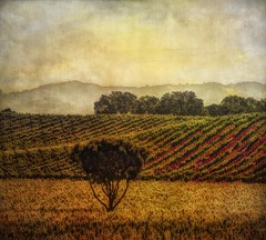 Lone tree in a vineyard (dred707..busybusybusy) Tags: 2013 may tree vineyard texture legacyexcellence rockpaperexcellence arttreasure5 tisexcellence lw exoticimagespecial field