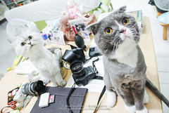 DSC_7435 (archiwu945) Tags: china cat kaohsiung 寵物 貓 nikon1 nikon1j2