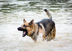 Branko Swims 2013-06-07-7 (falon_167) Tags: dog shepherd german gsd germanshepherddog branko
