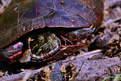 Painted turtle at Crockett Park (Stephen Little) Tags: sigma18250 sigma18250mm sigma18250mmf3563 sigma18250mmf3563dcoshsm sonya77 jstephenlittlejr sigma18250mmf3563dcoshsm880205 slta77 sonyslta77 sonyslta77v sonyalphaslta77v