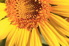 IMG_7194 (gina_scarsella) Tags: california flowers summer vacation color macro nature cali sunflower northern vaca