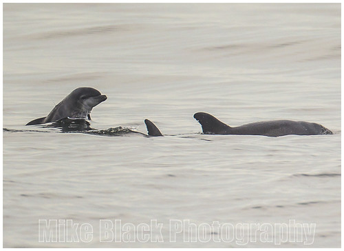 Baby Dolphin [Calf] with parents Belmar New Jersey