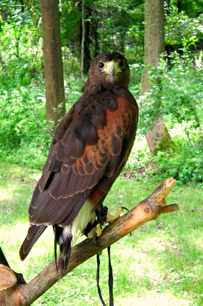 Harris Hawk (Ark Angels Elma, NY/Wild Spirit Education NY)  \