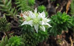 白花小松 Villadia batesii [比利時國家植物園  Belgium National Botanic Garden]