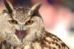Horned Owl (kintarotpc) Tags: bird call owl horn horned squawk