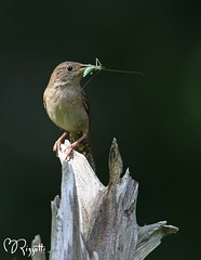 "House Wren ""Katydid Portrait"" (girlslens) Tags: wren housewren"