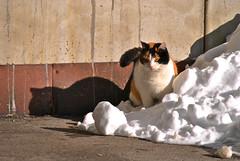 Cats (Dejan Bastijanic) Tags: shadow snow animal cat ombra neve gatto snijeg macka sjena nikkor55200vr nikond3000