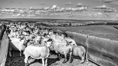 Probably The Best Sheep Dip Station in the World   224/365 (rmrayner) Tags: blackandwhite bw landscape countryside sheep farming monotone devon exmouth day224 ewes sheepdip 365project 224365 3652013 365the2013edition sheepsortingstation