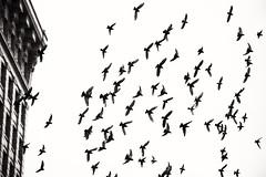 fly away (bluechameleon) Tags: city urban blackandwhite bw motion building birds vancouver flying wings movement pigeons feathers explored bluechameleon sharonwish bluechameleonphotography