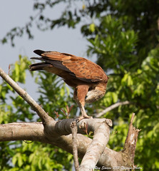 South America - The Amazon - The Wildlife (Ray Swann) Tags: black birds yellow america turkey river amazon hawk wildlife south great smooth vulture northern ani egret blackbird collared caracara hooded billed