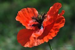 Impossible de résister..........à l'appel du Coquelicot ! (Hélène Quintaine) Tags: france nature fleur rouge noir jardin vert pistil iledefrance pétale coquelicot essonne étamine