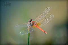 Red Dragonfly (*-_DaoRyaN_GriFfiThS_-*) Tags: red copyright macro beauty bug insect found this photo wings spain rojo foto little you dragonfly year picture libelula precious alas ago arent fotografia bastard dao bicho castellon insecto peiscola transparentes griffiths a i barderas daoryan