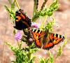Tortoiseshell Butterflies (sunbeem - Irene) Tags: butterfly garden thistle insects nettle tortoiseshellbutterfly carrmill mygearandme mygearandmepremium mygearandmebronze mygearandmesilver