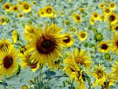 encore du soleil (b.four) Tags: sunflower girasole tournesol alpesdehauteprovence ruby3 riez valensole coth rubyphotographer mygearandme mygearandmepremium mygearandmebronze mygearandmesilver mygearandmegold ruby10 ruby15 ruby20