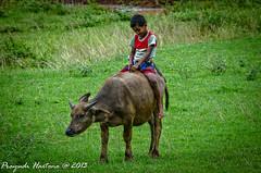 Buffalo Boy (Prayudi Hartono) Tags: boy buffalo harmony ntt sumba buffaloboy sumbaisland lamboya