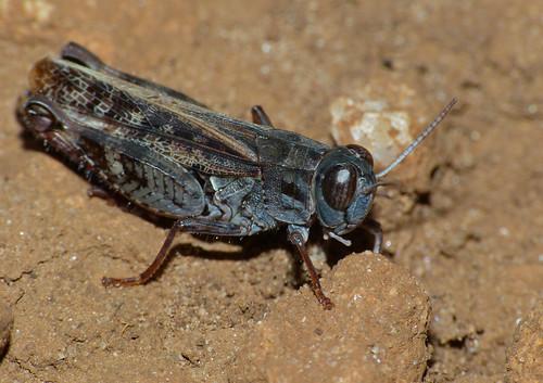 Italian Locust (Calliptamus italicus)