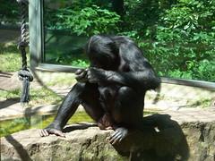 Berlin - Zoologischer Garten (Seesturm) Tags: berlin animals germany zoo tiere europa hauptstadt tiergarten zoologischergarten schimpanse primaten bundeshauptstadt 2013 seesturm