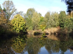 Globe Pond in Autumn Colours, Russia Dock Woodland, London SE16 @ 13 November 2013 (1 of 3) (Kam.Hong Leung) Tags: park wood autumn winter light summer brown sun kewgardens plant flower colour macro tree green bird london fall nature ecology true yellow kew fauna woodland butterfly garden insect gold golden leaf spring pond globe flora education wildlife conservation science petal bee bumblebee stamen environment pollen magpie botany wildflower horticulture rotherhithe southwark hoverfly canadawater biodiversity surreydocks rspb stamina stavehill ecologypark btcv pollinator tcv southwarkcouncil russiadockwoodland kamhongleung stavehillecologypark trustforurbanecology leungkamhong beatriceleung btcvcarbonarmy friendsofkew theconservationvolunteers globepond wintertrees