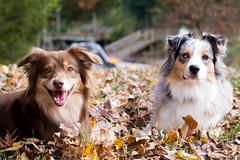Denali and Spur in the leaves 3 (Lakeside Annie) Tags: november dog fall leaves 50mm nikon saturday aussie australianshepherd 2013 nikond3100 20131123