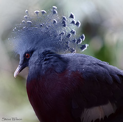 Victoria Crowned Pigeon (Steve Wilson - over 8 million views Thanks !!) Tags: new uk greatbritain blue red england bird nature animal closeup indonesia asian zoo guinea nikon asia close cheshire britain pigeon wildlife great conservation victoria chester captive avian captivity paua upton crowned chesterzoo omnivore d7000 caughall nikond7000