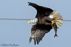 Get a Grip! (Bald Eagle in flight with fish) (Mitch Vanbeekum Photography) Tags: fish bird nature flying inflight md baldeagle maryland american haliaeetusleucocephalus birdinflight conowingo withprey conowingodam withfish baldeagleinflight mitchvanbeekum
